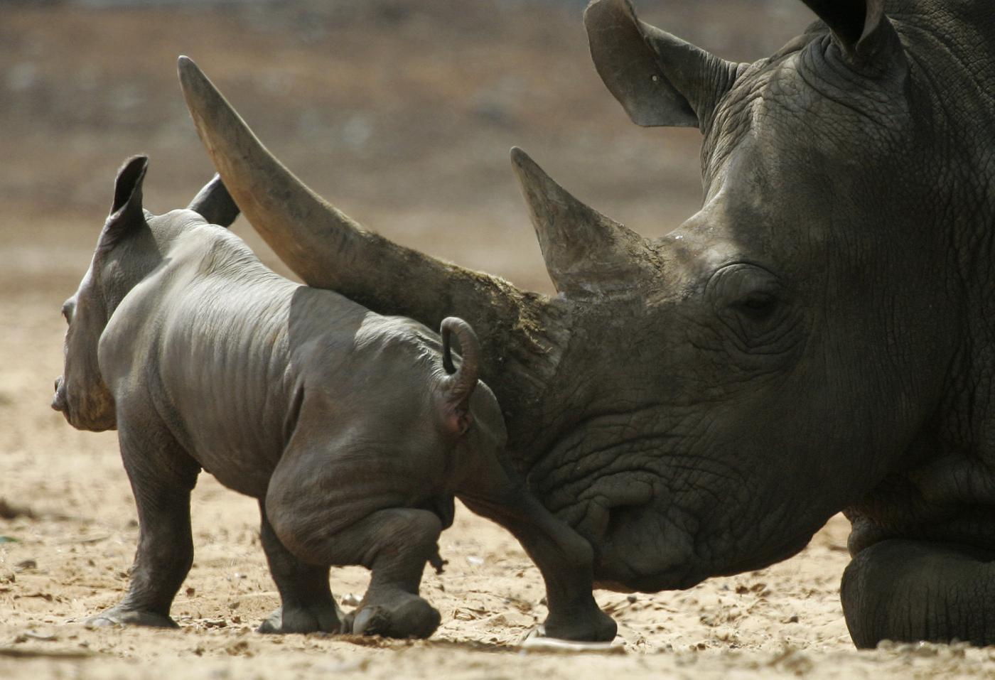 Rinoceronti sempre più a rischio estinzione a causa dei bracconieri