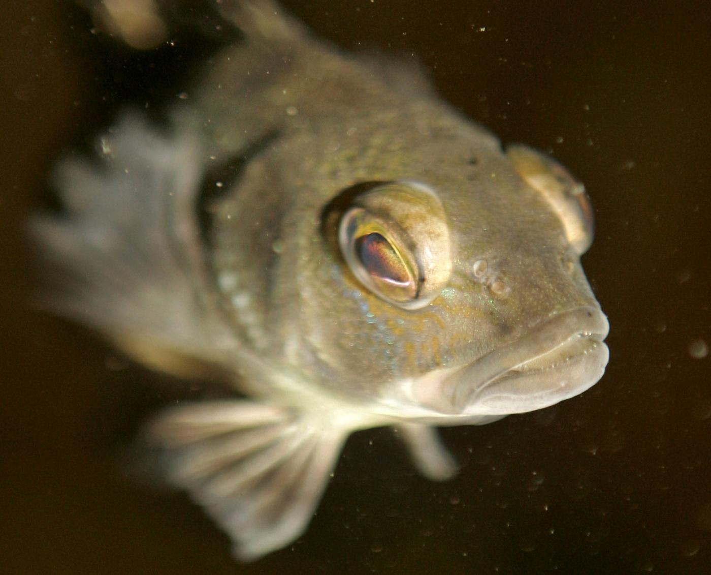 Droghe e farmaci nei fiumi: così i pesci diventano ermafroditi