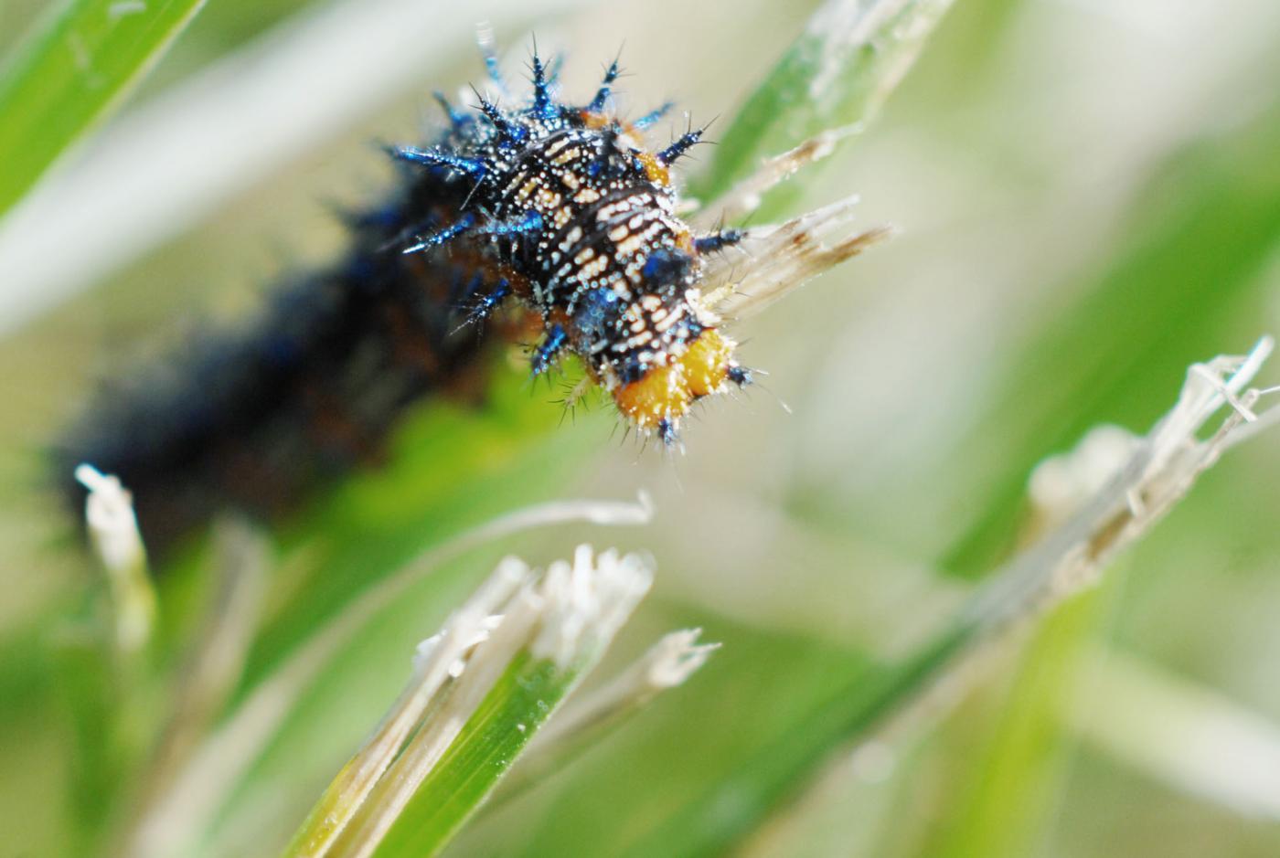 Bruchi che anziché diventare farfalle si suicidano: la colpa è di un virus