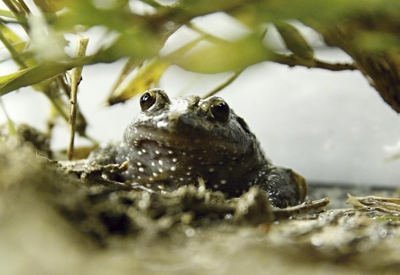La rana scomparsa che torna a farsi vedere