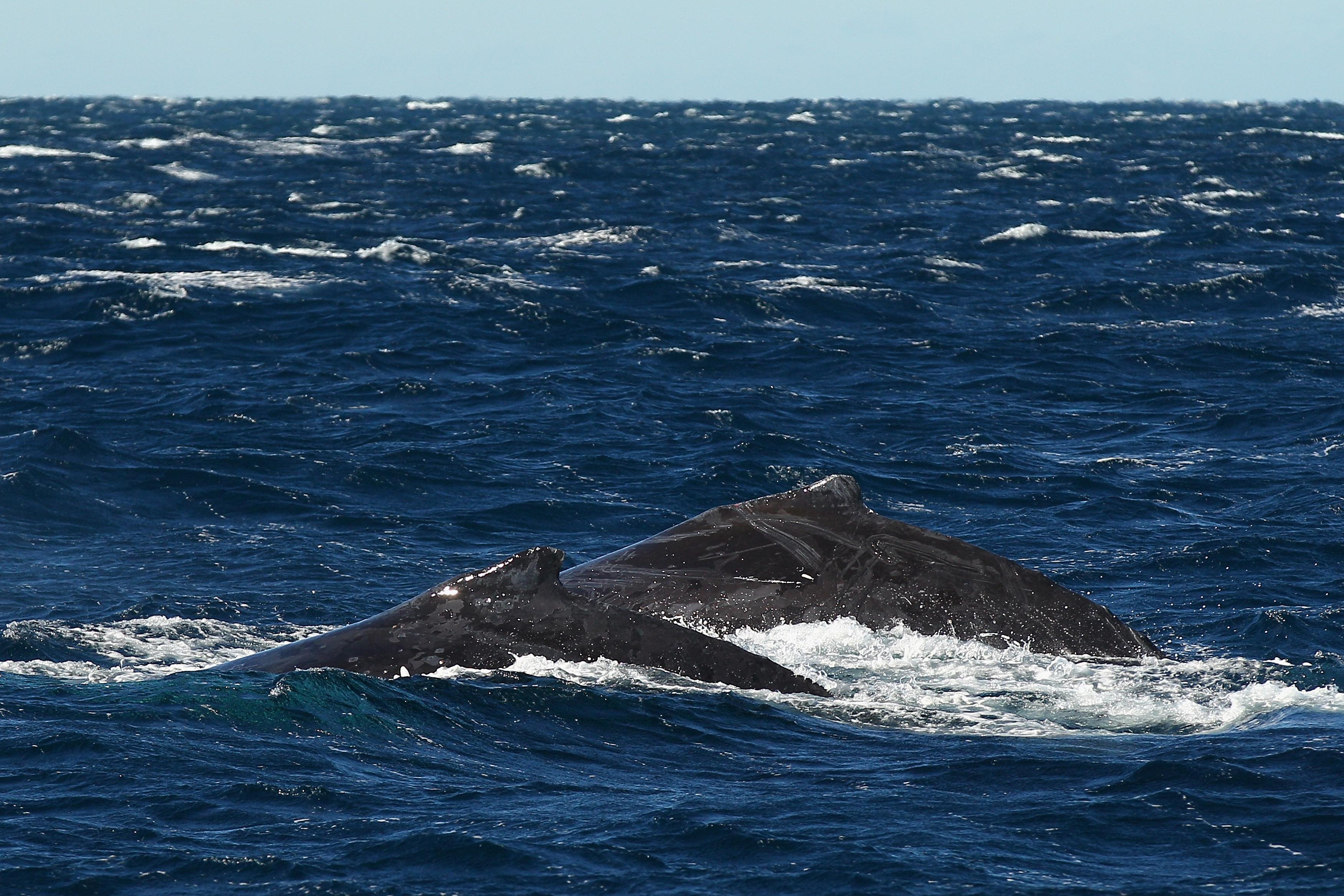 Giappone, i fondi per il post tsunami usati per la caccia alle balene