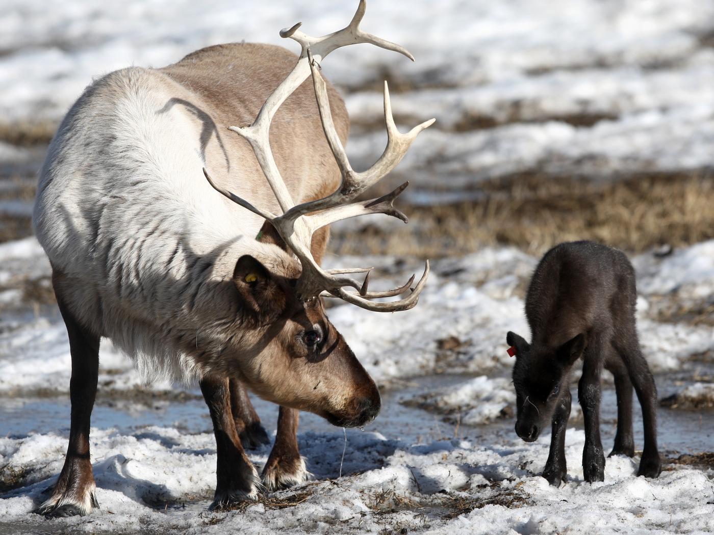 Il popolo delle renne sempre meno numeroso