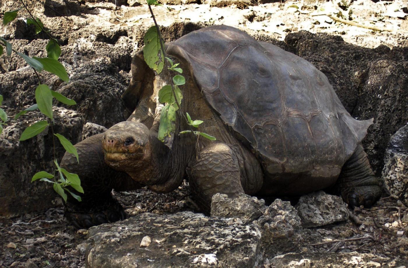 La tartaruga gigante di Darwin, forse, esiste ancora