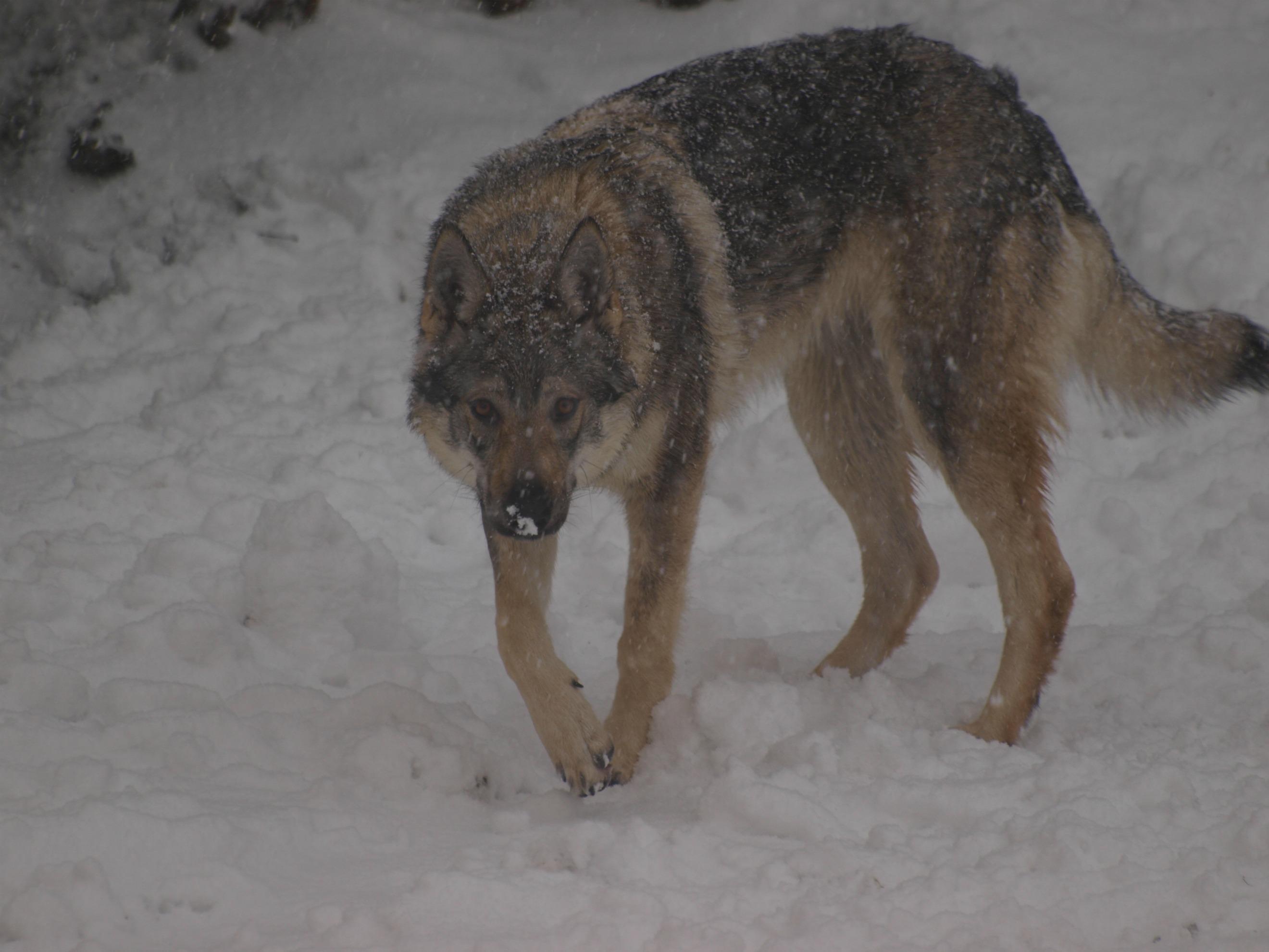 Freddo e gelo in Italia. E i lupi scendono a valle