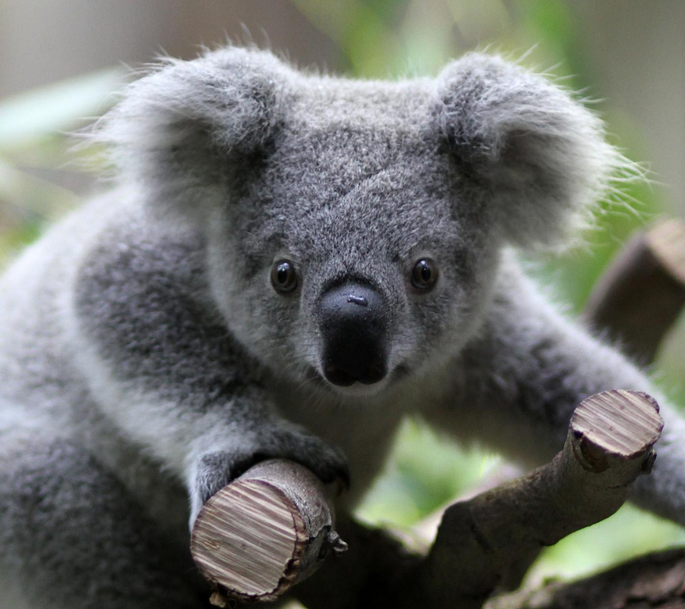Il koala e i pericoli per il suo popolo