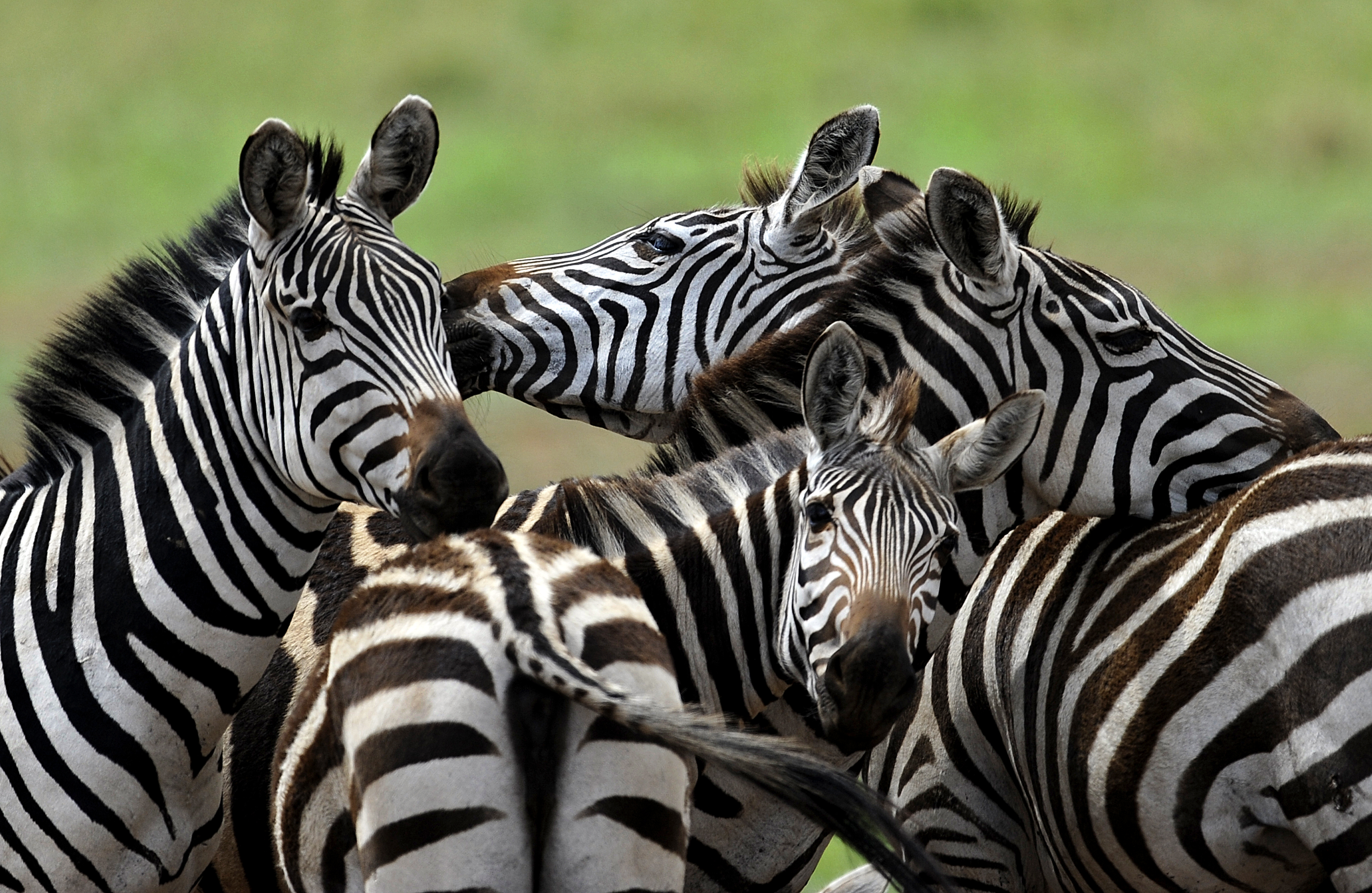 La zebra e l'importanza delle strisce