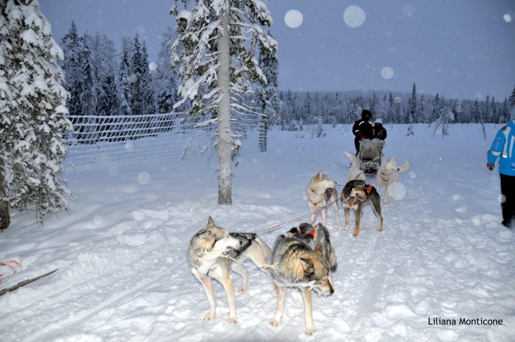 sledding husky