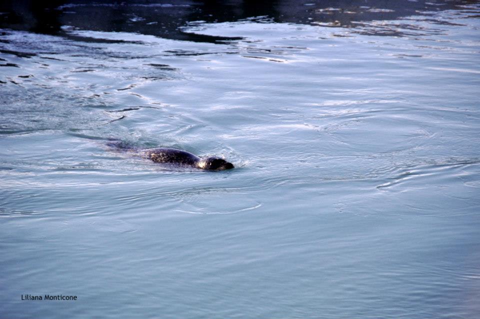 Visitare Jokursarlon iceberg nella laguna più bella d'Islanda foche che nuotano