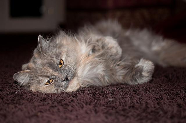 gatto-persoiano.jpg