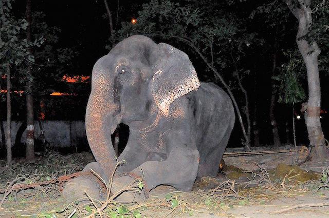 L'elefante Raju finalmente libero dopo 50 anni di agonia