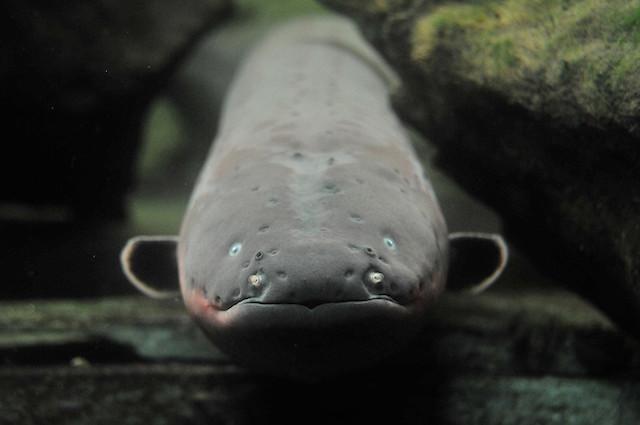 Anguille come Taser: così attraggono e immobilizzano le loro prede