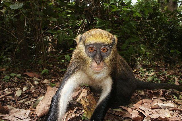 Le scimmie di Campbell comunicano in dialetto e si avvisano in caso di pericolo