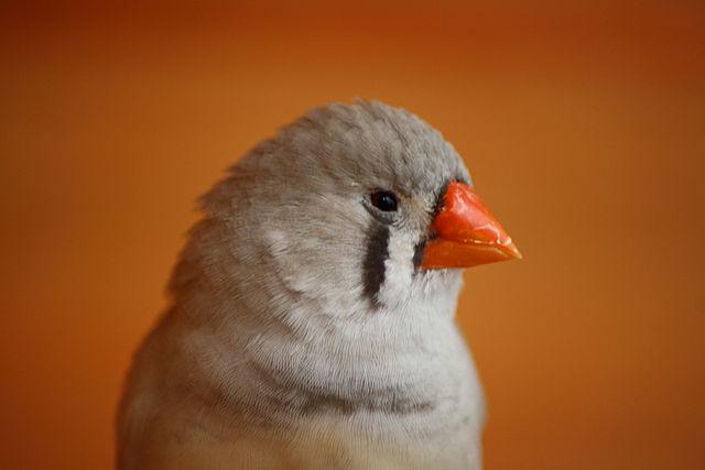 Anche gli uccellini, se ubriachi, stonano