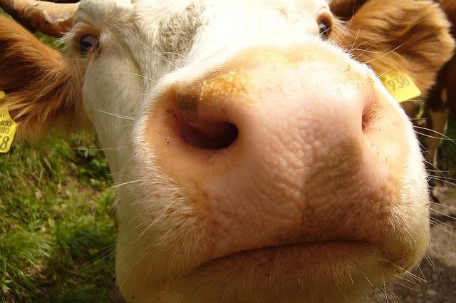 Le mucche comunicano tra loro: scoperto cosa mamma e figlio si dicono