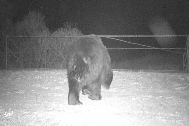 In assenza dell'uomo, l'orso bruno torna a Chernobyl: non accadeva da 100 anni