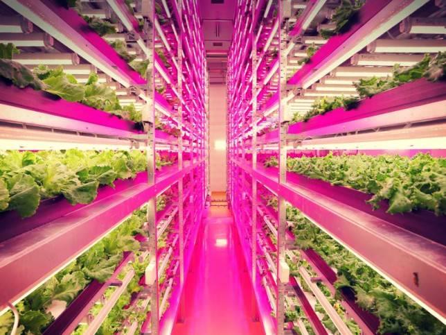 """Lattuga """"al LED"""", l'agricoltura dopo lo tsunami del 2011"""