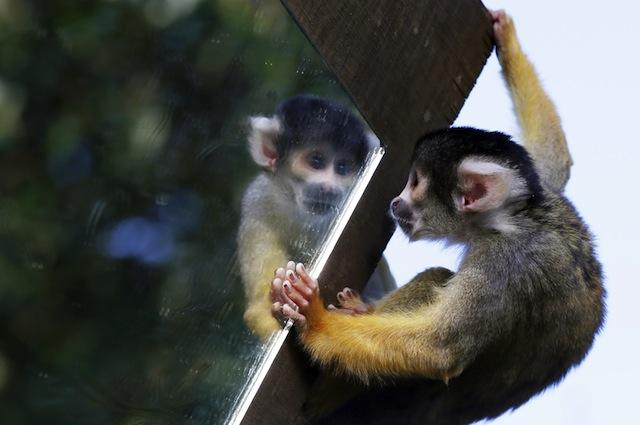 Le scimmie sanno guardarsi allo specchio: la ricerca che dà speranza ai malati di Alzheimer
