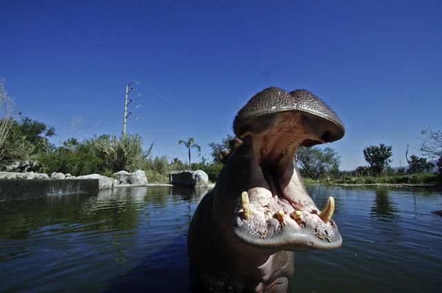 Ippopotamo cannibale in Africa fotografato mentre mangia un suo simile