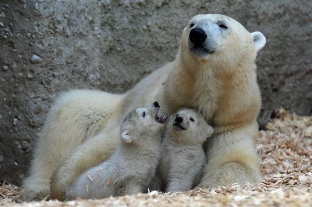 Osso del pene indebolito dall'inquinamento: orsi polari sempre più a rischio