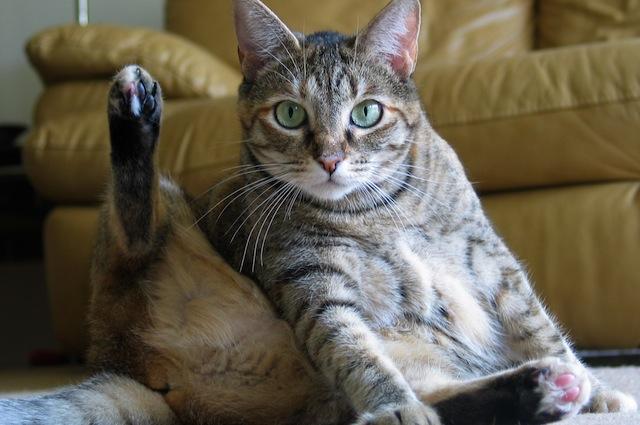 Cos'è e come affrontare l'iperestesia felina