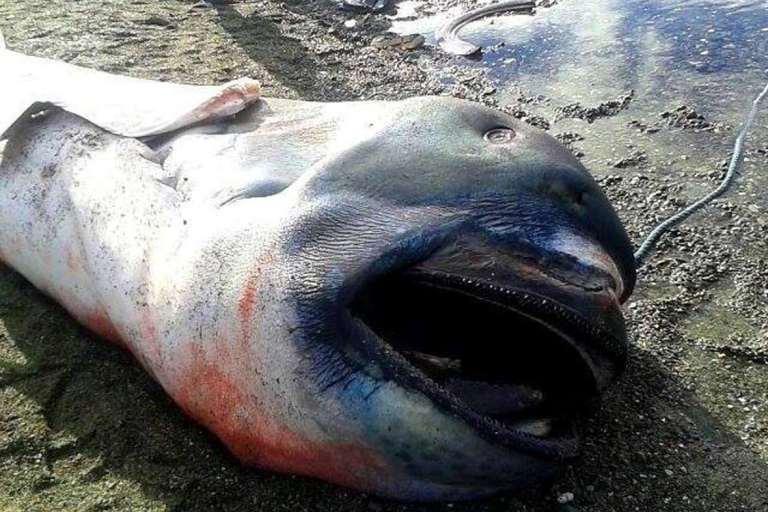Squalo bocca grande trovato su una spiaggia delle Filippine