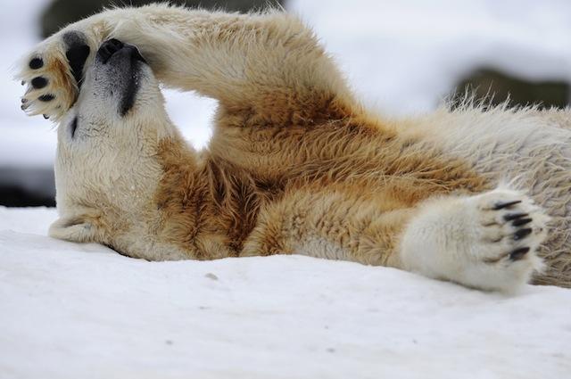 Gli orsi polari comunicano attraverso l'odore dei loro piedi