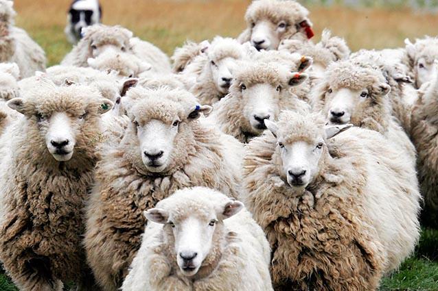 Pecore digitali per portare il WiFi nelle campagne del Galles
